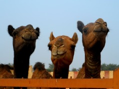 Smiley camels in India