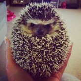 African Pygmy Hedgehog grumpy ball