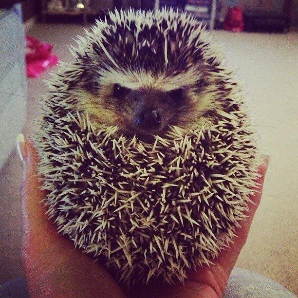 African Pygmy Hedgehog grumpy ball