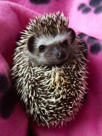 African Pygmy Hedgehog baby ball