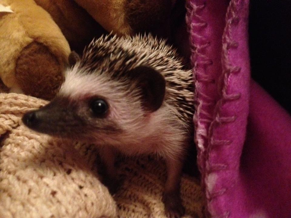 African Pygmy Hedgehog baby