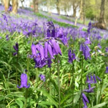 Bluebells at Emmetts Garden