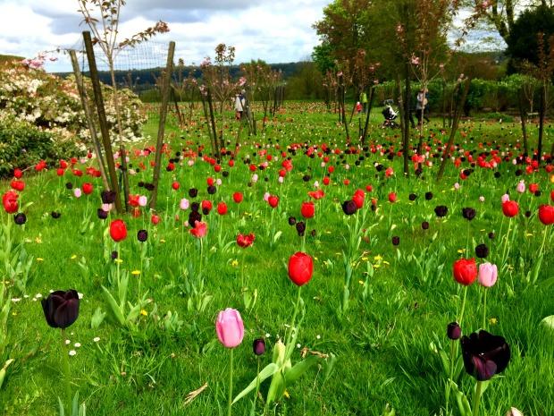 Tulips at Emmetts Garden